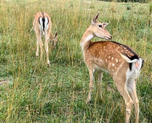Fauna salvaje, ciervos en Teverga